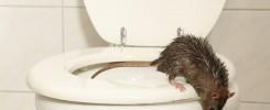 rodent infestation health risks