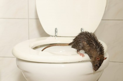 rodent infestation health risks